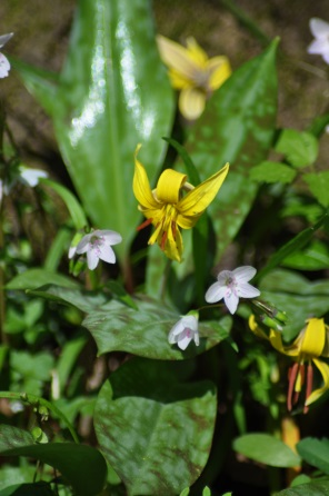 Yellow Trout Lily (Erythronium americanum)